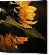Reticent Sunflower Canvas Print