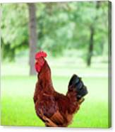 Rhode Island Red Rooster Canvas Print