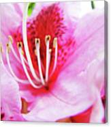 Rhodies Flower Macro Pink Rhododendron Baslee Troutman Canvas Print