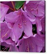 Rhododendren II Canvas Print