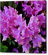 Rhododendron Pink Canvas Print