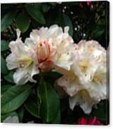 Rhododendrons IIi Canvas Print