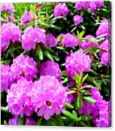 Rhododendrons In Bloom Canvas Print