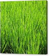 Rice Plants Canvas Print