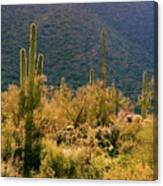 Rimlit Saguaro Forest Canvas Print