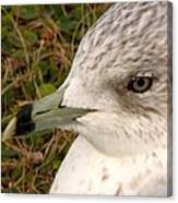 Ring Billed Gull Profile Canvas Print