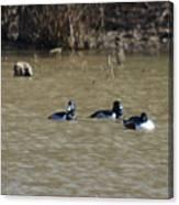Ring Neck Ducks  Canvas Print