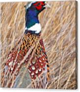 Ring-necked Pheasant  Canvas Print