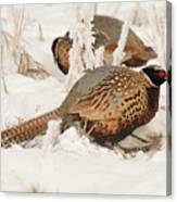 Ring-necked Pheasant Hunting In The Snow Canvas Print