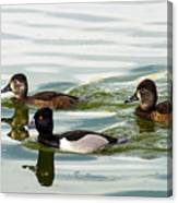 Ring-necked Trio Canvas Print