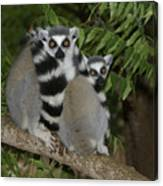Ring-tailed Lemurs Canvas Print