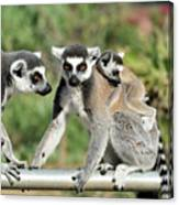 Ring Tailed Lemurs With Baby Canvas Print