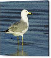 Ringed Billed Sea Gull Canvas Print
