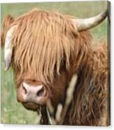 Ringo - Highland Cow Canvas Print