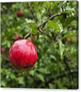 Ripe Apples. Canvas Print