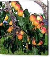 Ripe Apricots Canvas Print