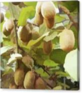 Ripe Kiwi Fruit On The Branch Canvas Print