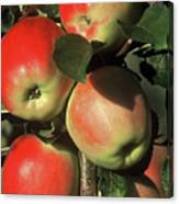 Ripening Apples Canvas Print