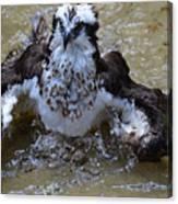 River Hawk Splashing Around In The Water Canvas Print