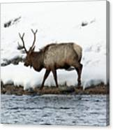 Riverside Elk Canvas Print