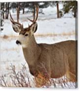 Rmnp Mule Deer 2 Canvas Print