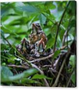 Robin Chicks In Nest. Canvas Print