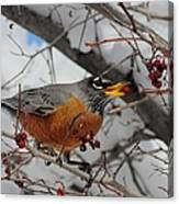 Robin Eating A Berry Canvas Print