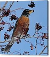 Robin Eating A Red Berry Canvas Print