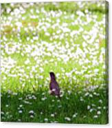 Robin In A Field Of Daisies Canvas Print