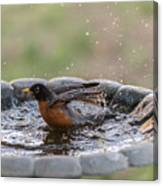 Robin In Bird Bath New Jersey  Canvas Print