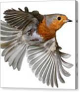 Robin In Flight Canvas Print