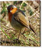 Robin In Hedgerow 3 Canvas Print
