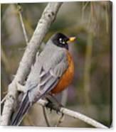 Robin In Tree 2 Canvas Print