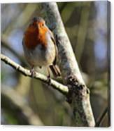 Robin On Branch Donegal Canvas Print