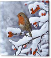 Robin On Snow-covered Rose Hips Canvas Print