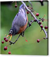 Robin Reaching For Berry Canvas Print