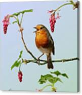 Robin Singing On Flowering Currant Canvas Print