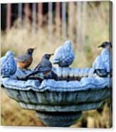 Robins On Birdbath Canvas Print
