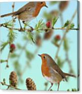 Robins On Larch Canvas Print