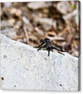 Rock And Robber Fly Canvas Print