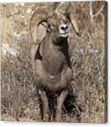 Rocky Mountain Big Horn Sheep Canvas Print