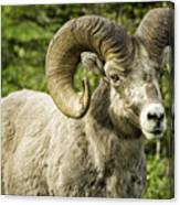 Rocky Mountain Bighorn Sheep Canvas Print
