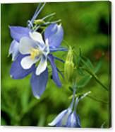 Rocky Mountain Blue Columbine Canvas Print