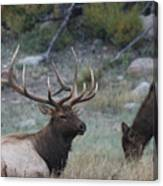 Rocky Mountain Bull Elk And Cow Canvas Print