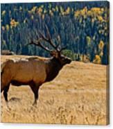 Rocky Mountain Bull Elk Canvas Print