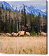 Rocky Mountain Elk In The Rockies Canvas Print