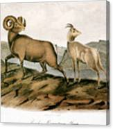 Rocky Mountain Sheep, 1846 Canvas Print