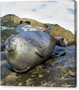 Roly Poly Seal Canvas Print