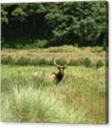 Roosevelt Elk 2 Canvas Print