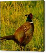 Rooster Pheasant Canvas Print